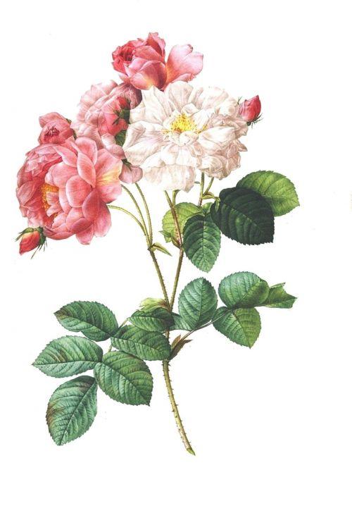 rose vintage flower