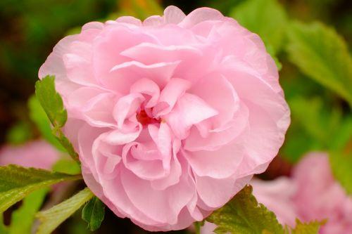 rožė,rožinis,rožinė rožė,išaugo žydėti,gėlės,žiedas,žydėti,rožinės rožės,gamta,rožių žydėjimas,rožių žiedlapiai,žydėti,Uždaryti,augalas,sodas,gražus,sodo rožės,kvepalai,gamtos įrašymas,lapai,pavasaris,pavasario gėlė,pavasario požymiai,ankstyvas bloomer,frühlingsblüher,pilnai žydėti,saldus,pavasaris,romantiškas