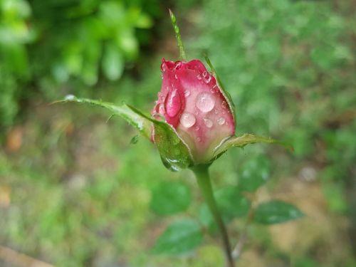 rose pink trickle