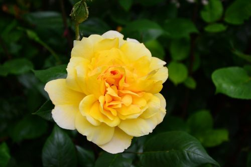 rose yellow rose blossom