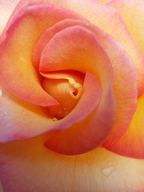 rose,pistil,flower