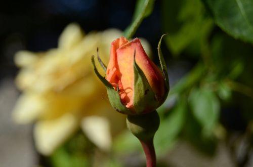 rose orange tones