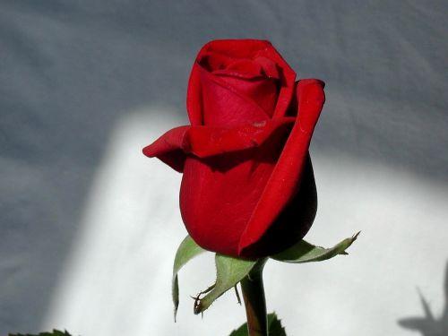 rose red stem