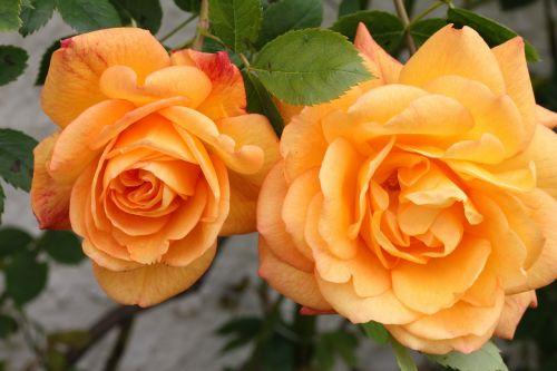 rožė,gėlė,žiedlapis,gėlių,gamta,žiedas,augalas,spalva,žydėti,vasara,sodas,spalva,botanika