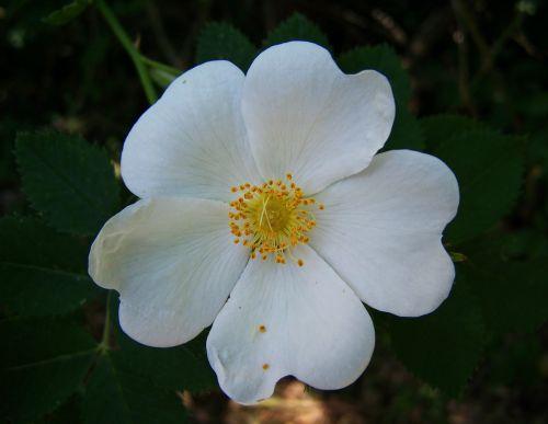 rose white-flowered garden