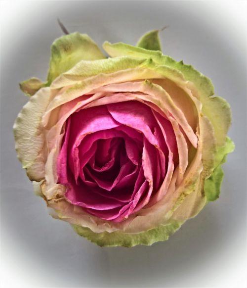 rose single bloom floribunda