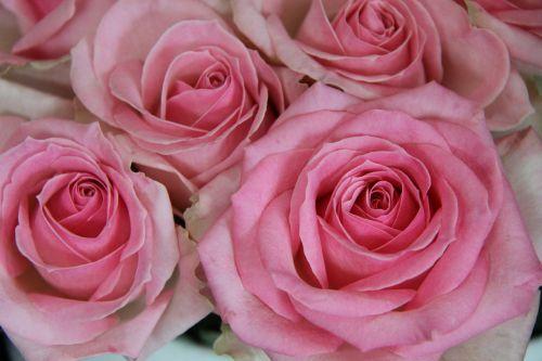 rožė,rožinis,gėlė