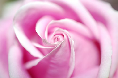 rožė,rožinis,žiedas,žydėti,išaugo žydėti,floribunda,rožių žydėjimas