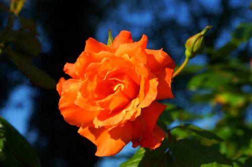 rose,blossom,bloom,orange,tender,flower,rose blooms,rose bloom,nature,bright,fragrant,garden,close,bloom,atmosphere