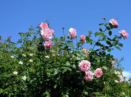 rose pink pink rose