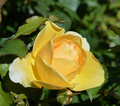 rose floribunda rose bloom