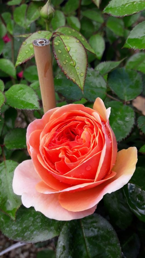 rose bamboo macro