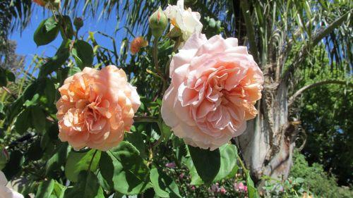 rose apricot climber