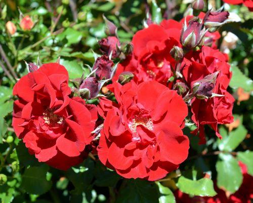 rose floribunda blossom