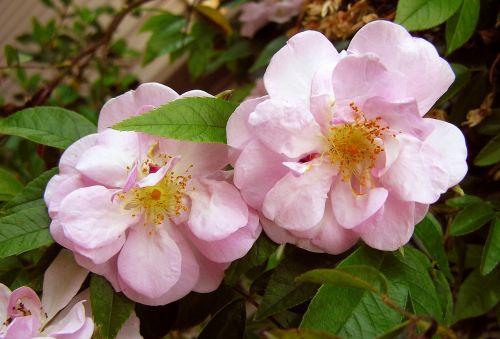 rose pink thornless
