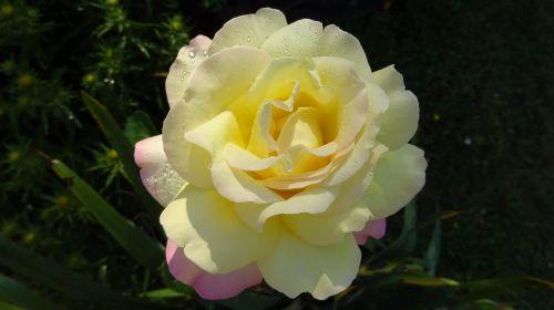 rose rose yellow yellow rose