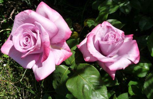 rose mauve perfumed