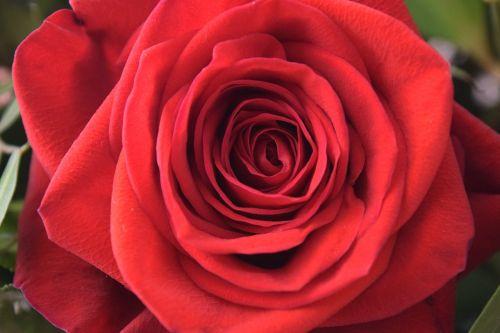 rose plant flower