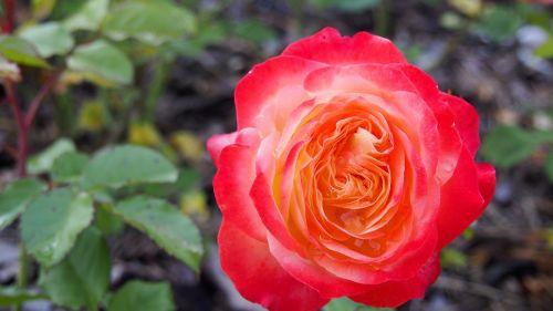 rose blooms flower