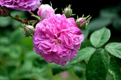 rose pink filled