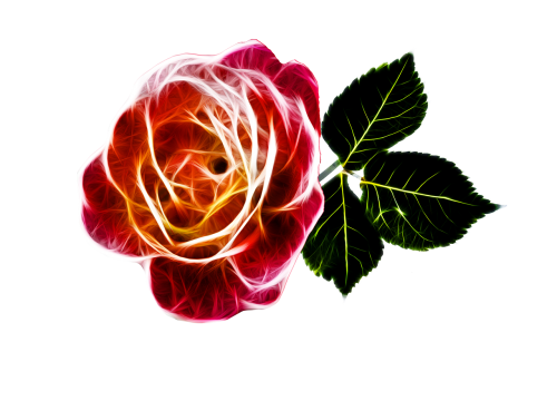 rose fiery love