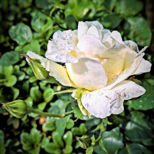 rose floribunda white