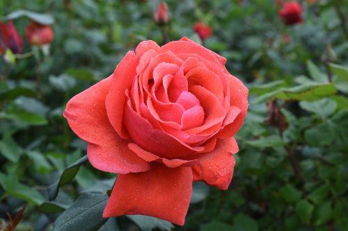 rose trickle affix