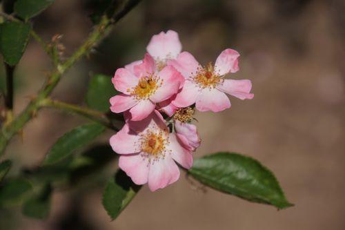 rose angela rosaceae