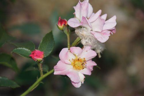 rose bonica rosaceae