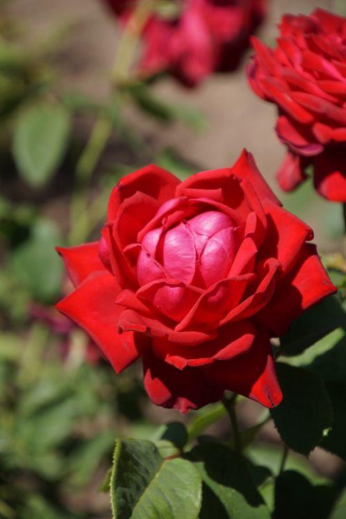 rose burgundy 81 rosaceae