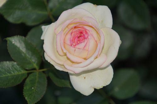 rose eden rosaceae