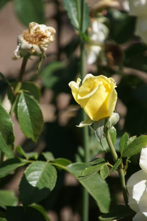 rožė,rožių karalienė,rosaceae,geltona,ryškiai geltona,balta,žiedas,žydėti,gėlių stiebas,augalas,makrofotografija,gamta,augalai ir gėlės,išaugo žydėti,rožių veisimas,grožis,veisimas,pavasaris,vasara,meilė,puokštė,gėlių vaučerius,Valentino diena,spalva,forma,pavasario spalvos,žalias,makro,Uždaryti