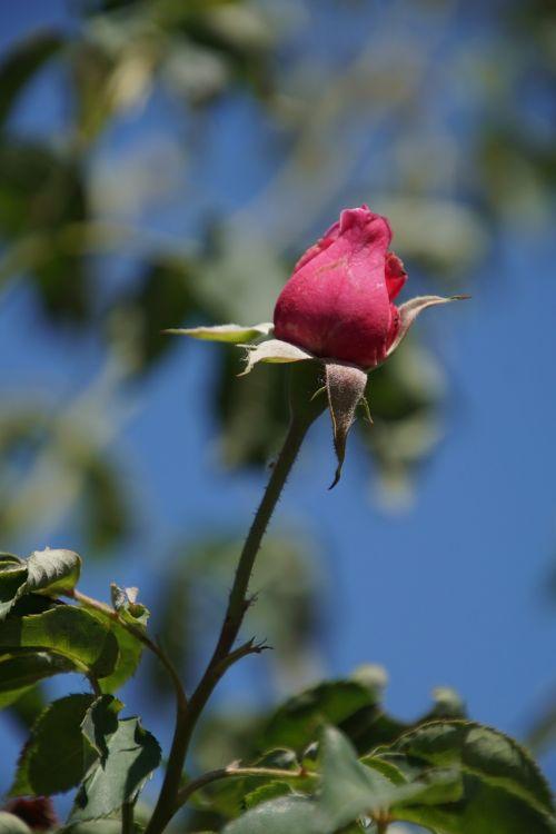 rožė,mme,knorr,rosaceae,raudona,violetinė,žiedas,žydėti,gėlių stiebas,augalas,makrofotografija,gamta,augalai ir gėlės,išaugo žydėti,rožių veisimas,grožis,veisimas,pavasaris,vasara,meilė,puokštė,gėlių vaučerius,Valentino diena,spalva,forma,pavasario spalvos,žalias,makro,Uždaryti