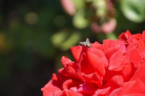 rožė,Samba,rosaceae,raudona,violetinė,aksomas,žiedas,žydėti,gėlių stiebas,augalas,makrofotografija,gamta,augalai ir gėlės,išaugo žydėti,rožių veisimas,grožis,veisimas,pavasaris,vasara,meilė,puokštė,gėlių vaučerius,Valentino diena,spalva,forma,pavasario spalvos,žalias,makro,Uždaryti,vabzdys,skristi