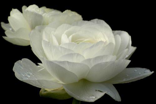 rožė,Balta rožė,gėlė,gamta,makro