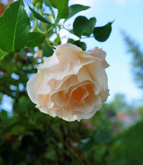 rožė,balta,švelnus,žiedas,žydėti,Balta rožė,gėlė,gamta,išaugo žydėti,gražus,rado,floribunda,kvepalai,Uždaryti,romantiškas,žydėti,spalvinga,vasara,kvapas,meilė,romantika