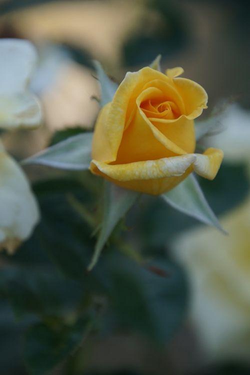 rožė,žiedas,žydėti,Uždaryti,berolina,rosaceae,raudona,violetinė,aksomas,gėlių stiebas,augalas,makrofotografija,gamta,augalai ir gėlės,išaugo žydėti,rožių veisimas,grožis,veisimas,pavasaris,vasara,meilė,puokštė,gėlių vaučerius,Valentino diena,spalva,forma,pavasario spalvos,žalias,makro