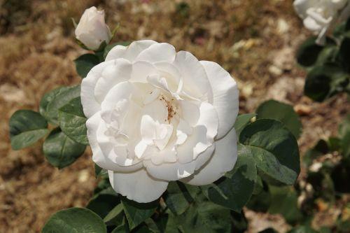rožė,žiedas,žydėti,Uždaryti,bianca,rosaceae,raudona,violetinė,aksomas,gėlių stiebas,augalas,makrofotografija,gamta,augalai ir gėlės,išaugo žydėti,rožių veisimas,grožis,veisimas,pavasaris,vasara,meilė,puokštė,gėlių vaučerius,Valentino diena,spalva,forma,pavasario spalvos,žalias,makro