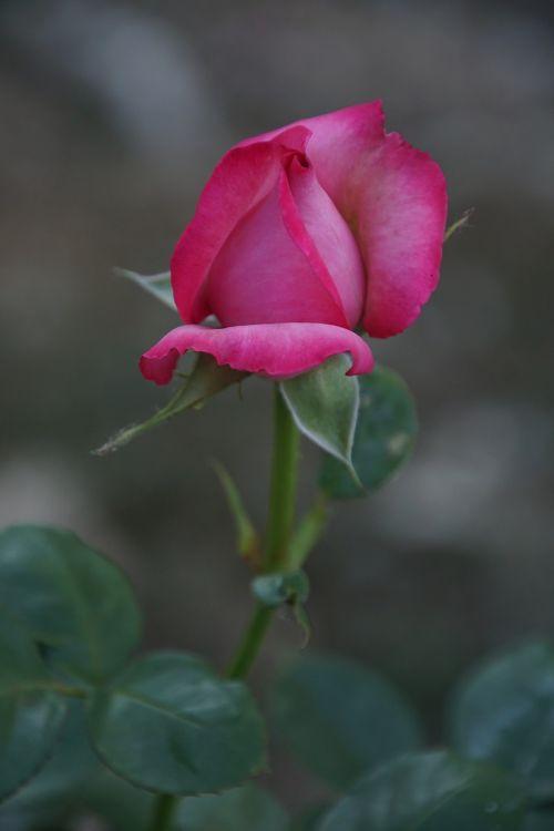 rožė,žiedas,žydėti,Uždaryti,Esmeralda,rosaceae,raudona,violetinė,aksomas,gėlių stiebas,augalas,makrofotografija,gamta,augalai ir gėlės,išaugo žydėti,rožių veisimas,grožis,veisimas,pavasaris,vasara,meilė,puokštė,gėlių vaučerius,Valentino diena,spalva,forma,pavasario spalvos,žalias,makro