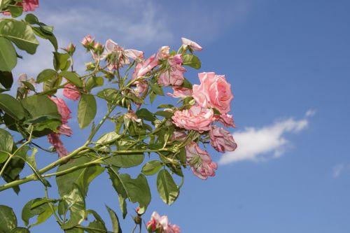 rožė,žiedas,žydėti,Uždaryti,ramira,alpinizmas pakilo,rosaceae,raudona,violetinė,aksomas,gėlių stiebas,augalas,makrofotografija,gamta,augalai ir gėlės,išaugo žydėti,rožių veisimas,grožis,veisimas,pavasaris,vasara,meilė,puokštė,gėlių vaučerius,Valentino diena,spalva,forma,pavasario spalvos,žalias,makro