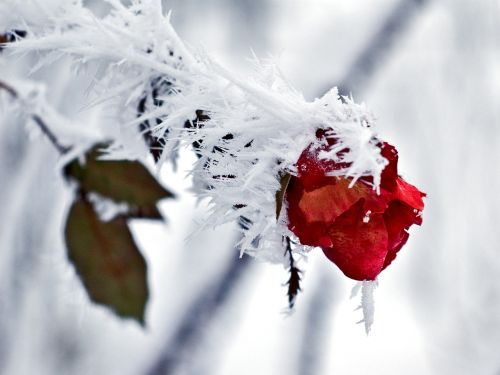 rose ice snow