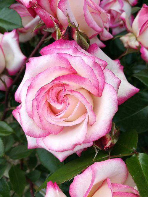 rožė,makro,gėlės,gamta,žiedlapiai,graži gėlė,sodas