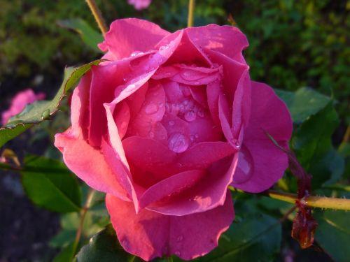 rose dewdrop blossom