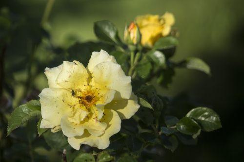 rose summer yellow