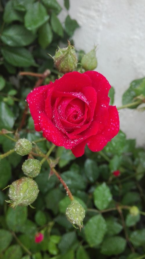 rose waterdrops red