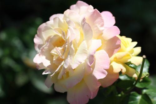 rose,white,blossom,bloom,flower,nature,rose bloom,miracle,beautiful,plant,flowers,garden,bloom,colorful,pink,summer,yellow