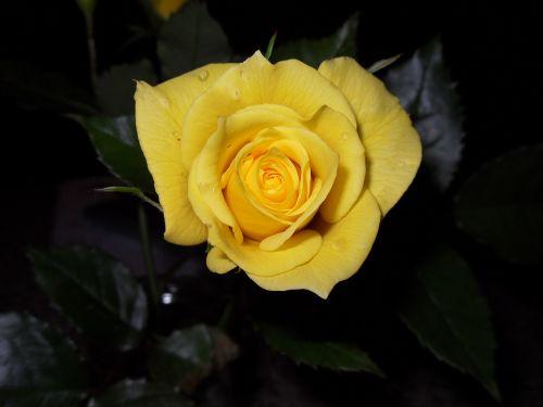 rose yellow floribunda