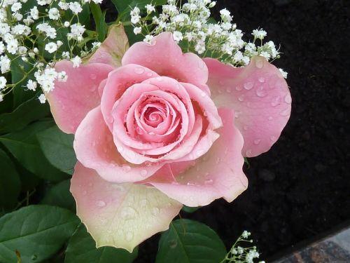 rose pink rose bloom