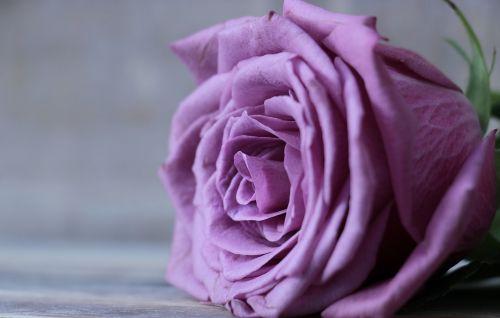 rožė,floribunda,išaugo žydėti,žiedas,žydėti,gėlė,violetinė,violetinė rožė,violetinė rožinė gėlė,žemėlapis,atvirukas,atvirukas,pakvietimas,fonas,violetinė,violetinė rožė