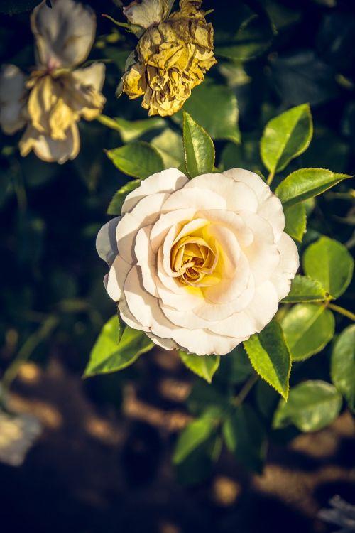 rose blossom bloom